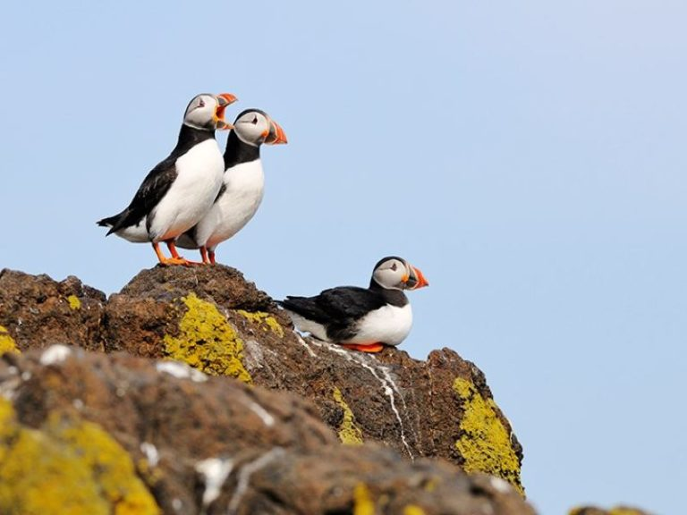 SSE Renewables and Microsoft launch puffin monitoring pilot